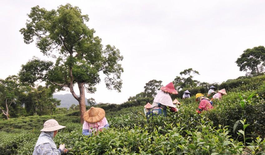 從栽種到採摘、製茶全程由農林自擁茶廠掌握,全程無使用化肥、農藥、香料、色素<br />100%道地台灣茶,產品產地、茶源、出廠皆標示清楚,所有茶品,皆通過SGS檢驗合格 <br />包裝設計著重環保意識,採用食品級襯紙,以可分解之玉米澱粉等材質包裝袋茶<br />